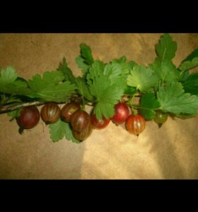 Растения,саженец, крыжовник,ягода в сезон.
