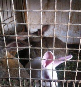Кролики ( молодняк)