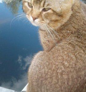 Кот на вязку. Шотланский с родословной