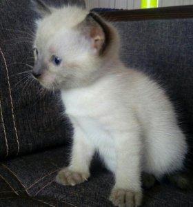 Тайский котята