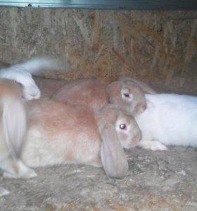 Кролики мясной породы.