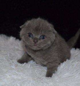 Котята шотландские скотиш фолд