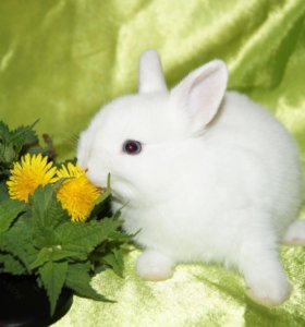 Гермелины ( карликовые кролики)