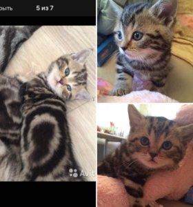 Шотландские котята-чистокровные