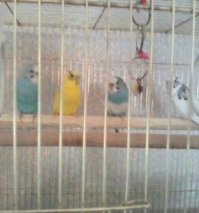 Волнистые попугаи мальчики и девочки.