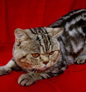 Вязка с прямоухим котиком