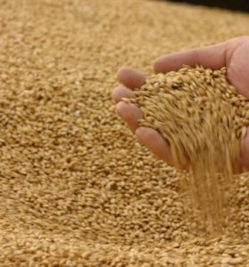 Пшеница 4 класс