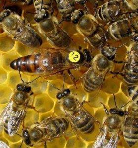 Продаём пчеломаток плодных краенской породы F1