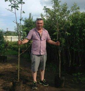 Плодовые деревья ОПТОМ. Яблони Сливы Вишни Груши