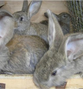 Молодые кролики от хороших производителей