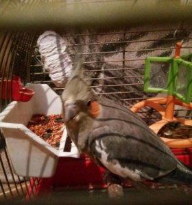 Продам попугая кареллу