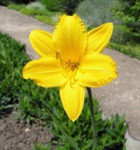 Лилейник желтый (садовое растение)