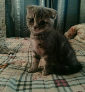 Котята. Чистокровные шотландские, вислоухие