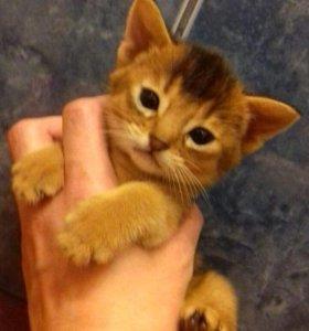 Абисинская кошка