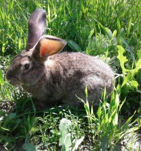Продам шикарного крола
