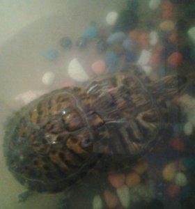 2 черепахи