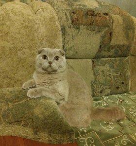 Супер котята крупные британцы.