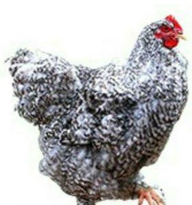 Инкубационное яйцо кур Брама
