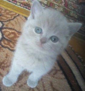 Продаю котеночка шотландку