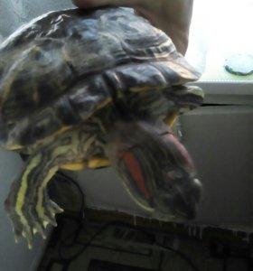 Продаю красноухую крупную черепаху