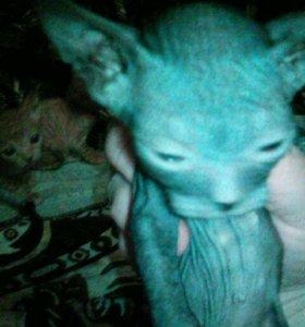Котята от кошки донской свинск