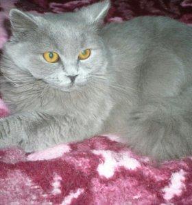 Продаётся молодая британская кошка т.89600260568