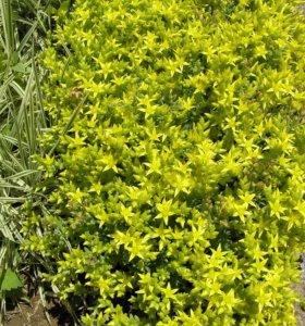 Очиток едкий желтый (садовое растение)
