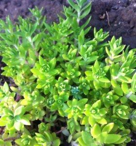 Очиток зеленый.(садовое растение)