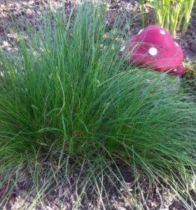 Злак декоративный (садовое растение)