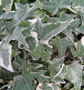 Плющ пестрый бело-зеленый.(садовое растение)