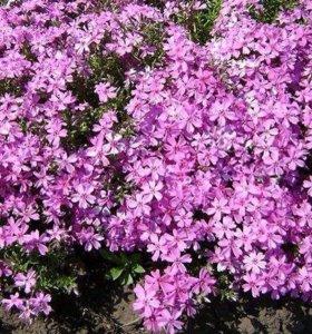 Флокс карликовый (садовое растение)