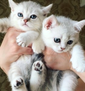 Британские котятки