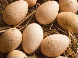 Продам инкубационное яйцо цесарок