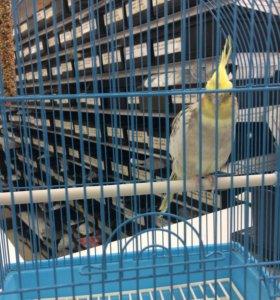 Попугай корелло