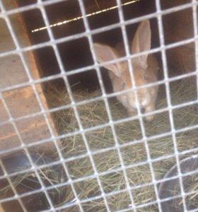 Прадаю кроликов или обмен