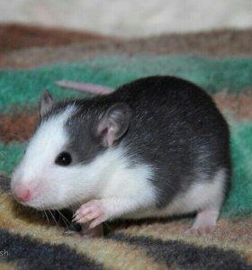 Крысята хаски