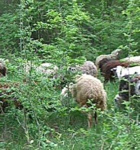 Стадо козы бараны