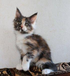 Кошечка Мейн -кун