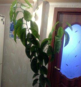 Дерево цитрусовое