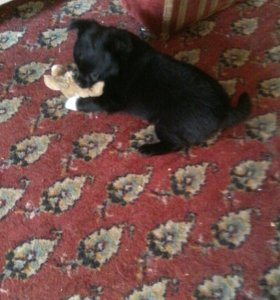 Продам щенка чихуахуа мальчика