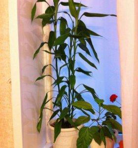 Комнатное растение драцена, в нормальном горшке.