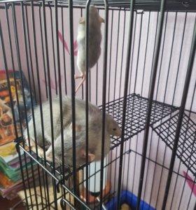 Продаются декоративные голубые крысы