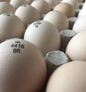 Инкубационное Яйцо Кобб 500 и другой птицы
