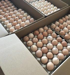 Инкубационное Яйцо из Европы