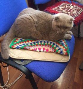 Кот,шотландский веслоухий