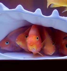 Рыбки попугаи