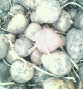 Картофель семинной