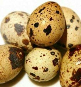 Продаются яйца перепелиные