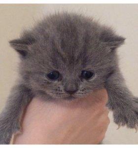 Котята породы шотландская