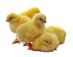 Цыплята бройлеры